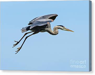 Canvas Print featuring the photograph Great Blue Heron Rising by Susan Wiedmann