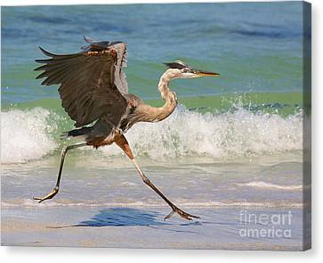 Great Blue Heron Running In The Surf Canvas Print