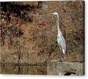 Canvas Print featuring the photograph Great Blue Heron Standing Tall by George Randy Bass