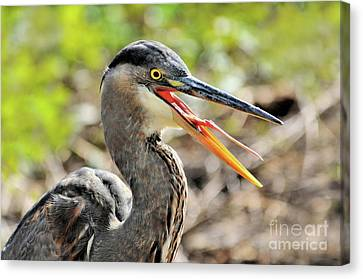 Canvas Print featuring the photograph Great Blue Heron Tongue by Debbie Stahre