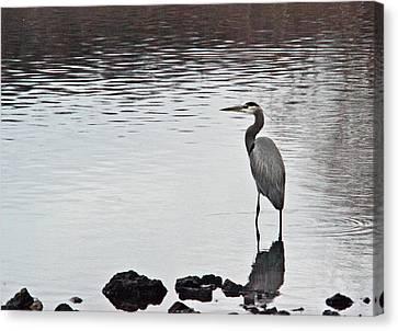 Great Blue Heron Wading 3 Canvas Print by Douglas Barnett
