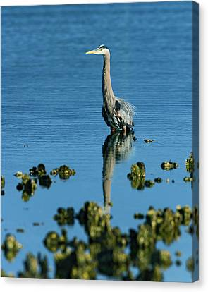 Great Blue Heron Wading Canvas Print by Gary Langley