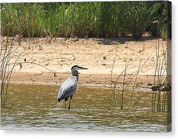 Canvas Print featuring the photograph Great Blue Heron Wading by Sheila Brown