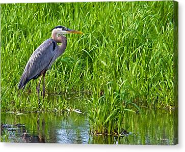 Great Blue Heron Waiting Canvas Print
