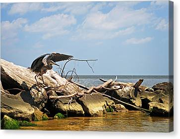 Great Blue Heron Wings Outstretched Canvas Print by Rebecca Sherman