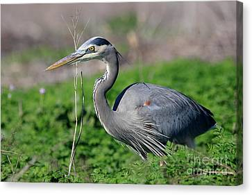 Great Blue Heron Canvas Print by Wingsdomain Art and Photography