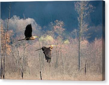 Great Blue Herons In Flight Canvas Print