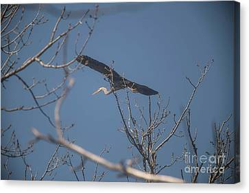 Canvas Print featuring the photograph Great Blue In Flight by David Bearden
