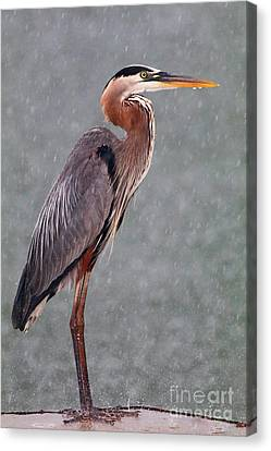 Great Blue In The Rain Canvas Print
