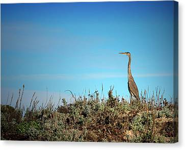 Great Blue Canvas Print by Joyce Dickens