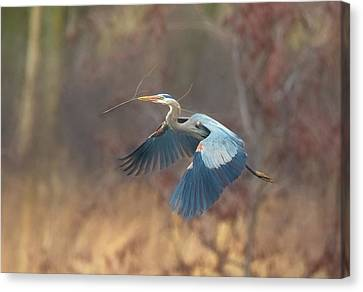 Great Blue Canvas Print by Kelly Marquardt