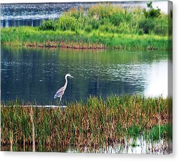Great Blue Canvas Print by Kim