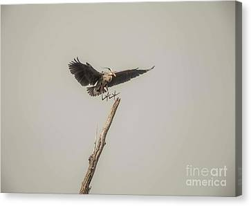 Canvas Print featuring the photograph Great Blue Landing by David Bearden
