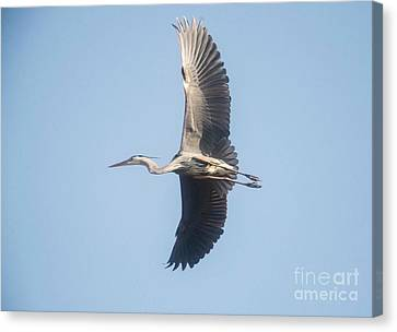 Canvas Print featuring the photograph Great Blue On Final by David Bearden