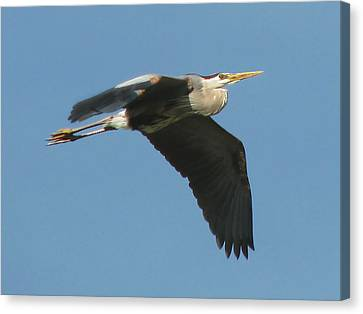 Canvas Print featuring the photograph Great Blue by Peg Urban