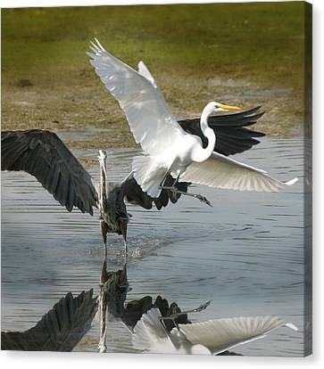 Great Blue Vs. Great White Egret Canvas Print by Joseph G Holland