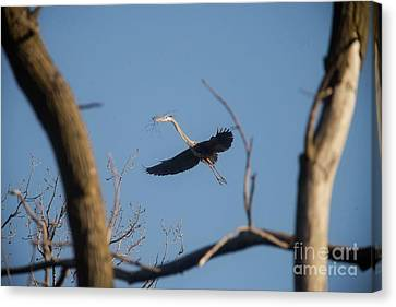 Canvas Print featuring the photograph Great Blues Nesting by David Bearden