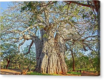 Great Boabab Tree Canvas Print