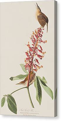Wren Canvas Print - Great Carolina Wren by John James Audubon