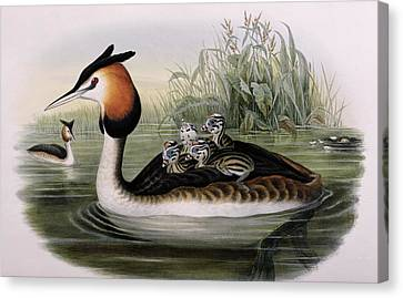 Ducklings Canvas Print - Great Crested Grebe  by John Gould