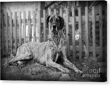 Canvas Print featuring the photograph Great Dane Rufus by Lila Fisher-Wenzel