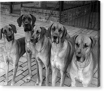 Great Danes Canvas Print by Fox Photos