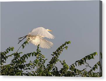 Great Egret 2017-6 Canvas Print