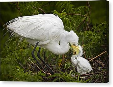Great Egret And Chick Canvas Print by Susan Candelario
