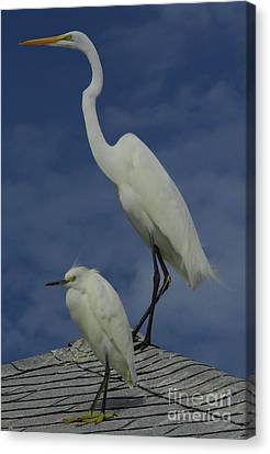 Great Egret And Snowy Egret Canvas Print