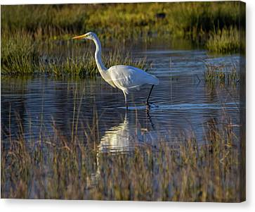 Great Egret, Ardea Alba, In A Pond Canvas Print