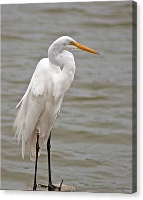 Canvas Print featuring the photograph Great Egret by Bill Barber