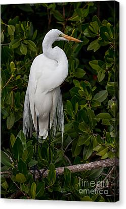 Canvas Print featuring the photograph Great Egret by Chris Scroggins