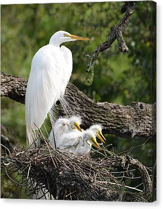 Great Egret Family  Canvas Print
