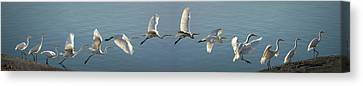 Mill Valley Canvas Print - Great Egret Flight Sequence by Brian Tada