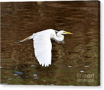 Great Egret In Flight Canvas Print by Al Powell Photography USA