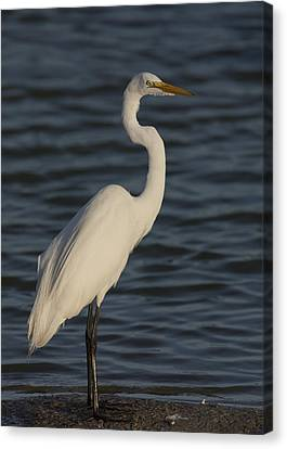 Great Egret In The Last Light Of The Day Canvas Print