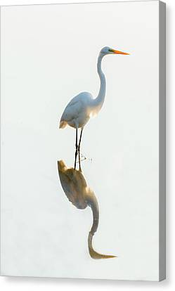 Snowy Egret Looking For Food Canvas Print by Dan Friend
