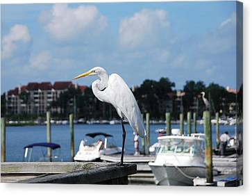 Canvas Print featuring the photograph Great Egret by Margaret Palmer