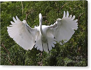 Great Egret Nest Builder Canvas Print by Carol Groenen