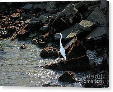 Canvas Print featuring the photograph Great Egret On Sunny Seaside Rocks by Susan Wiedmann
