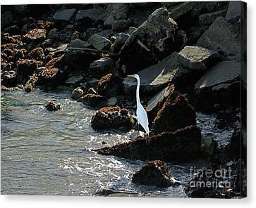 Great Egret On Sunny Seaside Rocks Canvas Print