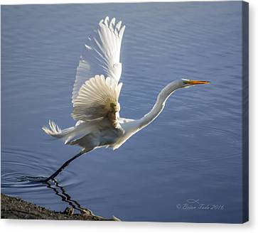 Mill Valley Canvas Print - Great Egret Taking Flight by Brian Tada
