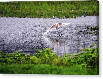 Great Egret Taking Off Canvas Print