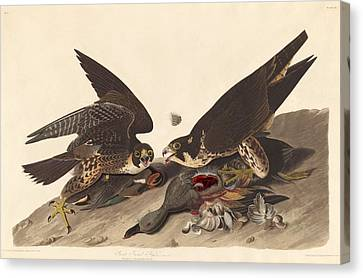 Great Footed Hawk Canvas Print by Rob Dreyer