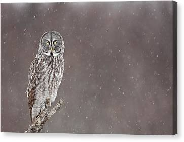 Great Gray Owl In Falling Snow Canvas Print by Tim Grams