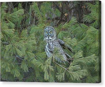 Great Gray Owl In Pine Tree Canvas Print by John Burk