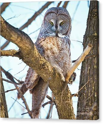 Great Gray Owl Canvas Print by Ricky L Jones