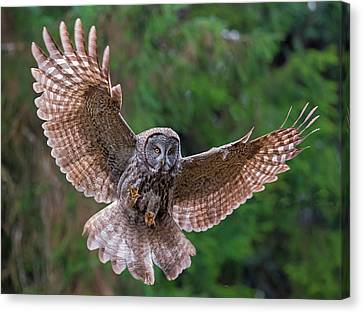 Great Gray Owl Swoop Canvas Print