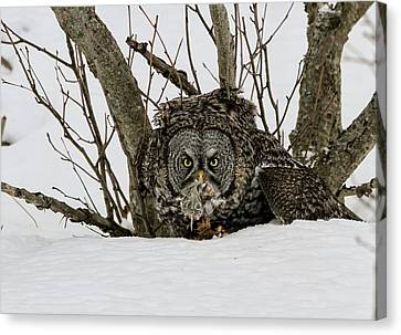 Great Grey Owl And Vole Canvas Print by Sam Amato