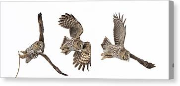 Canvas Print featuring the photograph Great Grey Owl Hunting by Mircea Costina Photography
